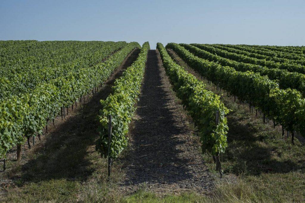 champ de vignes charente
